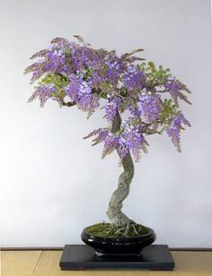 HOLLOW CREEK BONSAI - Wisteria Bonsai-Oh I sooo want this!!! Most beautiful scent in the world.