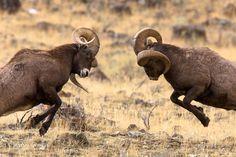 Yellowstone Bighorn Sheep by Jason Savage