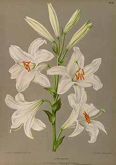 165395 Lilium candidum L. / Eeden, A.C. van, Album van Eeden, Haarlem's flora, afbeeldingen in kleurendruk van verschillende bol- en knolgewassen, p. 20, t. 29 (1872-1881)
