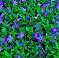 Vinca Minor is a slower grower. Vinca Minor is an evergreen vine. Vinca Minor has lavender flowers. Vinca Minor has hunter-green leaves. Periwinkle Plant, Perennial Ground Cover, Ground Cover Plants, Online Plant Nursery, Evergreen Vines, Flower Pot Design, Lavender Flowers, Gardens, Lawn