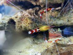 www.aqua-polis.pl Aqua, Coral, Caribbean, Shrimp, Food, Water, Meals