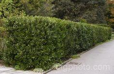 bay laurel tree Hedge - Google Search