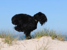 from alrewas kennels black russian terriers