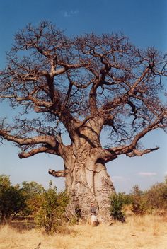 African Baobab, an iconic African tree that can be grown as a houseplant of bonsai. Le Baobab, Baobab Oil, Baobab Tree, Giant Tree, Big Tree, Plant Identification, Unique Trees, Beautiful Places To Visit, Tree Of Life