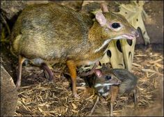 Mouse Deer Cuteness - The Malayan Mouse Deer is native to Malaysia, parts of Borneo and the Palawan Islands, as well as Indonesia. Growing to just 18 inches tall and 4.4 pounds, the mouse deer is quite funny-looking with its big eyes, long toothpick-like legs, and a pointed little snout.