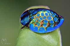 This might be the most glorious insect we've ever seen. Straight out of Brazil, meet the imperial tortoise beetle!