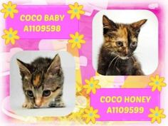 6/18/17 URGENT Brooklyn ● Coco Baby A 1109598 & Coco Honey A 1109599 fostered - ACC in foster care - Must be pulled by a New Hope Rescue