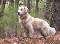 golden retriever - Bing Images