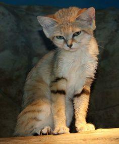 21 gyönyörű és ritka macskaféle, amit kevesen ismernek   Érdekes Világ