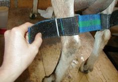 Hobble - to help goat to stop kicking while milking.