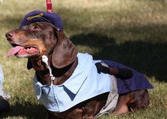 HowlOWeenie | The Rescue Life - DREAM Dachshund Rescue