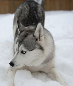 Siberian Husky!