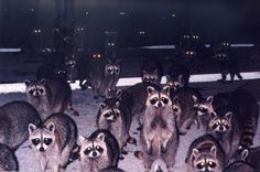 The 100 Most Priceless Raccoon Photos of All Time Cute Raccoon, Racoon, Theme Nature, Opossum, Witch House, Parks And Recreation, Oeuvre D'art, Animal Kingdom, Scary