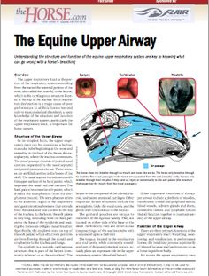 Understand the structure and function of the equine upper respiratory system to understand horses' breathing. Vet Help, Horse Information, Horse Anatomy, Horse Treats, Horse World, Horse Tips, Respiratory System, Physiology, Health And Wellness