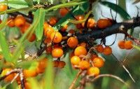 Though not the easiest to find in North America, sea buckthorn is worth seeking out! The little orange berries and the oils that are made from them are so uniquely nutritious! Rosacea Remedies, Comment Planter, Skin Food, Permaculture, Botany, Berries, Planters, Flowers, Papier Paint