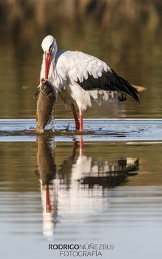 C~~~White stork (Ciconia ciconia) is a large bird in the stork family Ciconiidae. Its plumage is mainly white, with black on its wings. Adults have long red legs Sea Birds, Wild Birds, Animal Photography, Nature Photography, Stork Bird, Funny Animals, Cute Animals, Bird Gif, Shorebirds