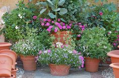 Pinks and pastels in the stockyard, including Impatiens sodenii, Dahlia 'Art Nouveau' and Laurentia axillaris