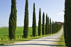 cypress trees line a driveway in Tuscany that leads to a villa; Italy......