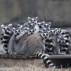 Ring-tailed Lemurs!!!!