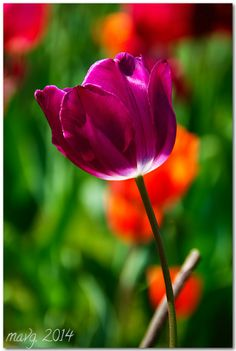 Amsterdam Tulip ~ By mvaro