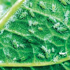 Nenechajte si zničiť úrodu voškami