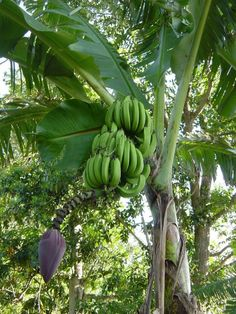 Green banana- Jamaica