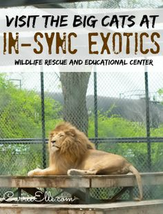 Lions, and Tigers, and Servals, Oh My! Meet the Big Cats at In-Sync Exotics