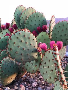 A prickly-pear cactus in bloom with the beautiful White Tank Mountains in the ba. A prickly-pear c Desert Flowers, Desert Cactus, Cactus Flower, Flower Pots, Flower Ideas, Cactus With Flowers, Cacti And Succulents, Cactus Plants, How To Grow Cactus