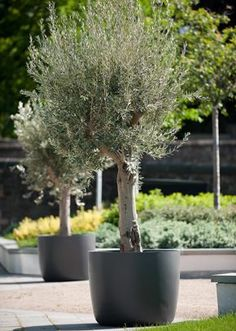 Olive trees in planters