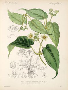 William Hemsley Botany , 1879-1888; Plants,  Image number:bca_21_05_00_127
