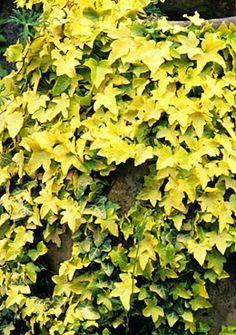 This Hedera helix buttercup will again pick up on the golden green - trailing on the wall after the bamboo and before the palms next to a jasminum nudiflorum? It's not often you run into such a gorgeous evergreen. eh I mean ever yellow.