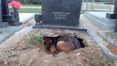 Humor Discover German Shepherd Mom Digs Hole For Puppies Underneath A Grave Animals And Pets Baby Animals Cute Animals Mans Best Friend Best Friends Happy End Military Dogs Military Working Dogs Military Veterans Military Working Dogs, Military Dogs, Military Veterans, Animals And Pets, Baby Animals, Cute Animals, Mans Best Friend, Best Friends, Happy End