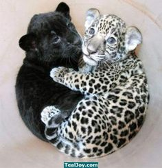 Baby panther cuddles baby leopard