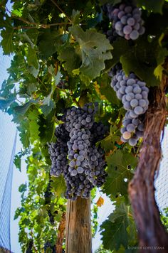 Great wine comes from good grapes. by Javier Lopez /