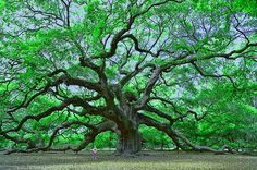 Angel Oak by Allen Beatty