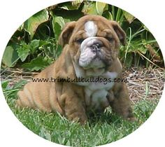 Bully babies from Trimbull English Bulldogs.