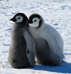 Emperor chicks Penguins And Polar Bears, Baby Penguins, Baby Puppies, Baby Dogs, Cute Baby Animals, Animals And Pets, Animal Pictures, Cute Pictures, Cute Kids Photography