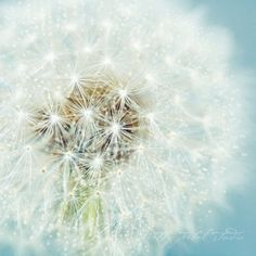 Sparkly Dandelion Flower, Macro Photograph, Creamy Teal Tones, Shabby Chic, Floral, Home Decor, Dreamy Art .  5x5 Square Print. $15.00, via Etsy.