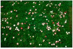 English Lawn Daisy, Bellis perennis  Lawn daisies produce hundreds of beautiful flowers each spring without attracting bees. Because plants ...