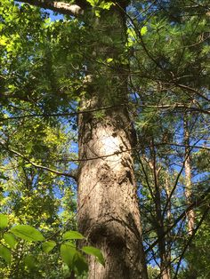 Native White Oak stands tall with deep roots providing strength and inspiration. We love our trees at Montfair!