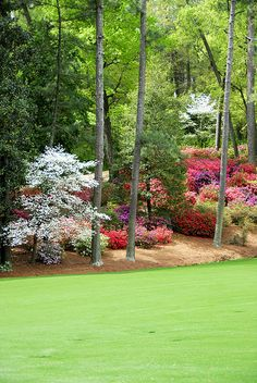 Azaleas and dogwoods. Reminds me of The a Masters Tournament! Azaleas Landscaping, Outdoor Landscaping, Front Yard Landscaping, Outdoor Gardens, Shade Landscaping, Landscaping Company, English Garden Design, Augusta National Golf Club, Home Design