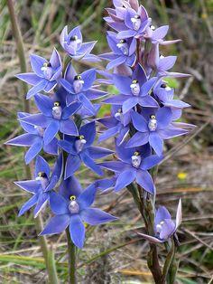 scented sun orchid | kimborow | Flickr