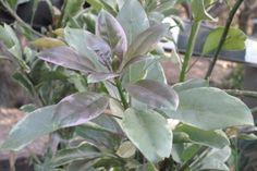 Solandra maxima 'Variegata' has aubergine tip growth.