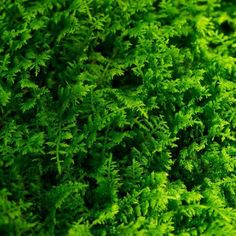 Fern Moss stems resembles a tiny fern frond, hence the name. In growth habit, it forms a loose, spreading mat that resembles a luxurious carpet of tiny ferns.