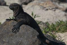The Galapagos Islands - Marine Iguana