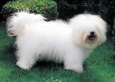 "Coton de Tulear... I know you're in there somewhere...lol.  I have to get my dogs groomed way before they get to this point. But if I was ""showing"" them, this would be perfect."