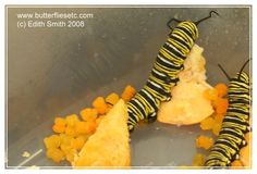 Monarch Caterpillars Eat Pumpkin? They're experimenting to see how well Monarchs do on pumpkin. If I'm understanding correctly, it seems the young caterpillars don't do well on pumpkin, but the older ones apparently tolerate it. Check out the orange frass in the pic! I'm still hoping to grow more milkweed though, but it's nice to know older caterpillars might make it on pumpkin.