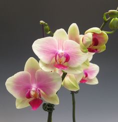 I absolutely love orchids but only have two. I want to have at least 10 orchids, several. Purple Orchids, Flower Nursery, Plant Nursery, Planting Bulbs, Planting Flowers, My Flower, Beautiful Flowers, Orchid Plants, Tulips