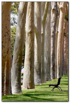 Autumn is here. Lemon-scented gums in Kings Park, Perth, Australia. I love sitting on that bench. Perth Western Australia, Australia Travel, Land Of Oz, New Zealand, Beautiful Places, Scenery, Places To Visit, Around The Worlds, Nature