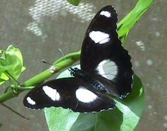 Butterfly @ Arabuko-Sokoke Forest in #Kenya. For a #Arabuko travel guide visit www.safaribookings.com/arabuko. With User reviews, Maps & Photo's.
